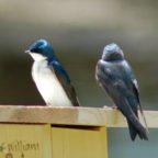 アイキャッチ画像 Bluebirds